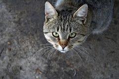 Gatto nella posizione offensiva Fotografia Stock