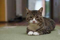 Gatto nella sala isolata Immagine Stock