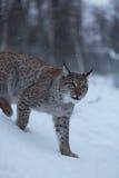 Gatto nella scena nevosa di inverno, Norvegia di Lynx Fotografia Stock