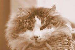 Gatto nella seppia Fotografie Stock