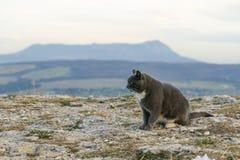 Gatto nelle montagne Gatto sopra la montagna fotografia stock