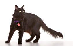 Gatto nero Immagini Stock