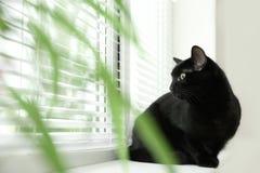 Gatto nero adorabile vicino alla finestra con i ciechi all'interno immagine stock libera da diritti