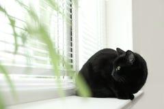 Gatto nero adorabile vicino alla finestra con i ciechi all'interno fotografia stock libera da diritti