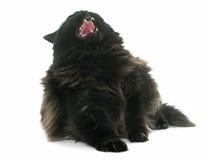 Gatto nero arrabbiato Fotografie Stock