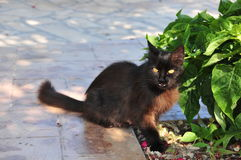 Gatto nero arrabbiato Fotografia Stock Libera da Diritti