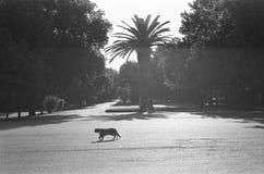 Gatto nero che attraversa la via Fotografia Stock