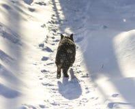Gatto nero che cammina solo Fotografia Stock