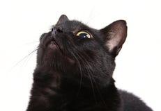 Gatto nero che osserva in su isolato Immagine Stock