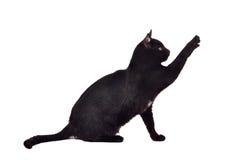 Gatto nero che raggiunge in su per il giocattolo che mostra le branche Fotografia Stock