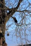 Gatto nero che scala l'albero Fotografia Stock