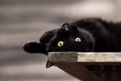 Gatto nero che si trova sottosopra Immagine Stock Libera da Diritti