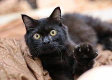 gatto nero che stabilisce e che solleva sguardo della mano alla macchina fotografica Fotografia Stock