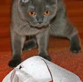 Gatto nero con gli occhi arancio Fotografie Stock Libere da Diritti