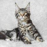 Gatto nero del cono della Maine del soriano che posa sulla pelliccia bianca del fondo Immagini Stock Libere da Diritti