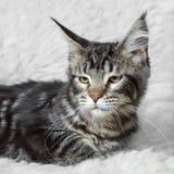 Gatto nero del cono della Maine del soriano che posa sulla pelliccia bianca del fondo Immagine Stock Libera da Diritti