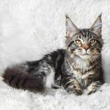 Gatto nero del cono della Maine del soriano che posa sulla pelliccia bianca del fondo Fotografie Stock Libere da Diritti