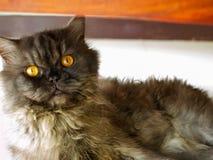 Gatto nero del ritratto Fotografia Stock Libera da Diritti