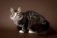Gatto nero del siberiano della tigre Fotografie Stock