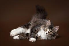 Gatto nero del siberiano della tigre Fotografia Stock Libera da Diritti