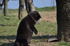Gatto nero di chantilly Fotografie Stock