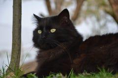 Gatto nero di chantilly Immagini Stock Libere da Diritti