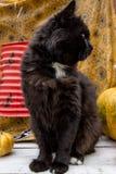 Gatto nero e zucche Fotografie Stock