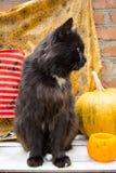 Gatto nero e zucche Fotografia Stock Libera da Diritti