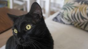Gatto nero giorno del gatto foreground fotografie stock