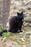 Gatto nero nei ruines nei gatti antichi di Roma Fotografia Stock