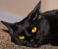 Gatto nero osservato bello giallo Fotografia Stock