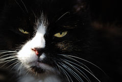 Gatto nero profondo Immagine Stock