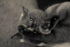 Gatto nero su fondo bianco e nero Immagini Stock Libere da Diritti
