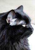 Gatto nero su priorità bassa bianca Fotografia Stock Libera da Diritti