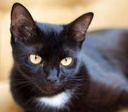 Gatto nero sveglio con gli occhi gialli Fotografie Stock