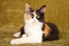 Gattino norvegese del gatto della foresta foto stock 22 for Gatto della foresta norvegese