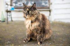 Gatto norvegese della foresta Fotografia Stock Libera da Diritti