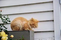 Gatto norvegese che dorme primo piano fotografia stock for Gatto della foresta norvegese