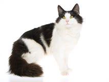 Il gatto norvegese in bianco e nero della foresta for Gatto della foresta norvegese