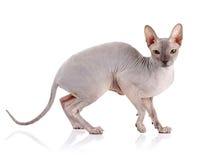 Gatto nudo Fotografia Stock