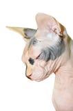 Gatto nudo Fotografia Stock Libera da Diritti