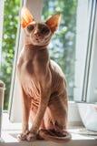 Gatto nudo della pelle Fotografie Stock