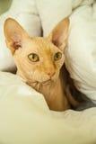 Gatto nudo della pelle Fotografia Stock
