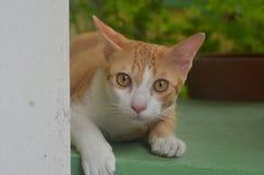 Gatto ordinario Fotografia Stock Libera da Diritti