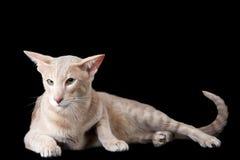 Gatto orientale che si trova sul nero Fotografia Stock