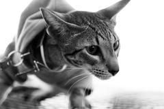 Gatto orientale con la fascia del seno Fotografia Stock