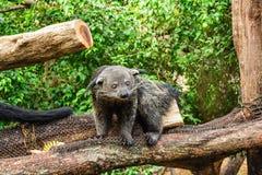 Gatto orsino nero. 4 Fotografie Stock