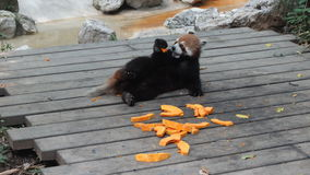 Gatto orsino (panda minore) Fotografia Stock Libera da Diritti