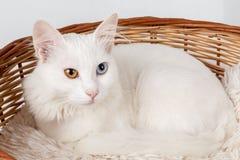 Gatto osservato dispari bianco in un canestro Immagini Stock