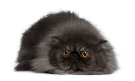 Gatto persiano, 19 mesi Fotografie Stock Libere da Diritti